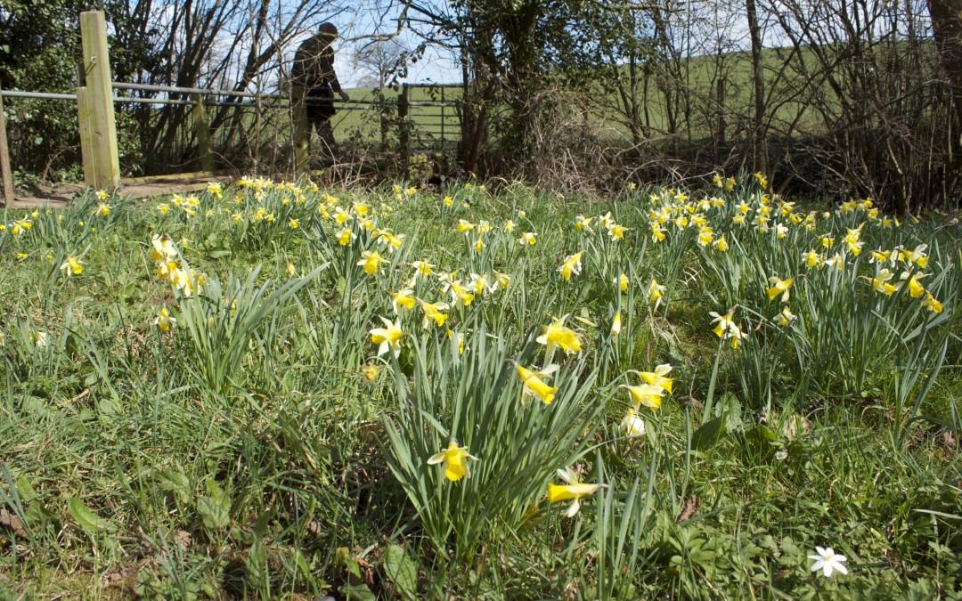Dymock Daffodils