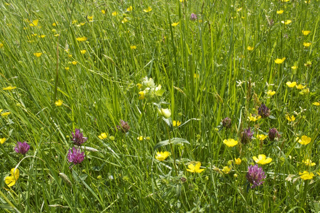 hollybed-farm-meadow-clover-web